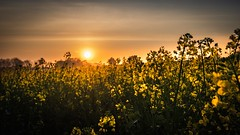 Rapeseed at sunrise (gaztotalmods) Tags: