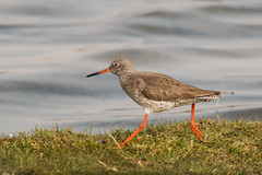 Striding (DavidHowarthAgain) Tags: adwickwashland southyorkshire rspb dearnevalley march 2019 spring redshank tringatotanus