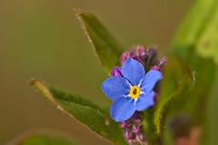 Forget-Me-Not (pstenzel71) Tags: blumen natur pflanzen forgetmenot vergissmeinnicht myosotis darktable flower bokeh spring