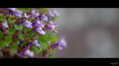 Cymbalaires (Alexandre LAVIGNE) Tags: cymbalairedesmurs cymbalariamuralis pentaxk1 plantevivace ruinederome tamronspaf70200mmf28dildifmacro format2351 cymbalaires fleurs k1 macro nature