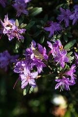 Azalea (CarolAnn Photos) Tags: 2019 april azalea flora flower