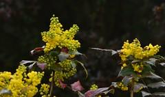 Mahonia Flowers (sweetpeapolly2012) Tags: garden gardenflower inthegarden shrubs mahonia