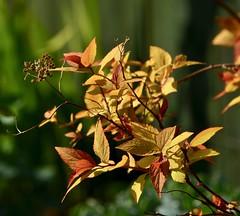 Garden Shrubs in the sunlight (sweetpeapolly2012) Tags: garden gardenflower inthegarden shrubs