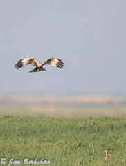 Marsh Harrier 1-2 (Jims Fotos) Tags: 14extender april2019 canon ef600f4 eos7dmk2 elmley induro kent nature