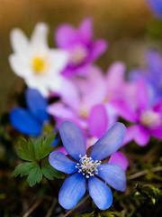 (gert.lutter) Tags: photo closeup flora flower nature