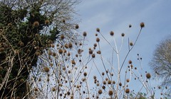 Photo of Dipsacus pilosus (Small Teasel), old fruits, Cherry Hinton, Cambs, 19.4.19