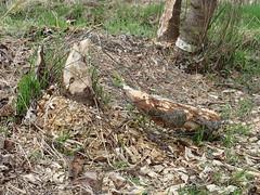 Beaver Damage, Silverdale Wetlands