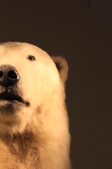 Ours Polair - Polar Bear (Sp6mEn Pics) Tags: taxidermie animaux empaillés disparus vivants lille france hautsdefrance nord lynx araignée loup dinosaure oiseau squelettes mammifère marin momie insects ours polair