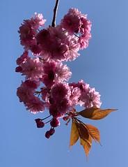 Cherry blossoms (markshephard800) Tags: leaves light shadows sunlit spring flores flowers flora fleurs fiori sky blue pink tree blumen bloemen blooms cherry