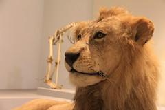 Lion (Sp6mEn Pics) Tags: taxidermie animaux empaillés disparus vivants lille france hautsdefrance nord lynx araignée loup dinosaure oiseau squelettes mammifère marin momie insects