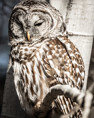 Barred Owl close-up (dwb838) Tags: barredowl 8x10 bw tree