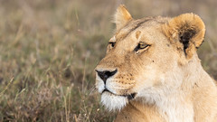 Lioness (eric hughes 2014) Tags: lion lioness animal female maasaimara northconservancy kenya africa wildlife nature outdoors canon 7dmarkii 300mmf28lllisusm 2019