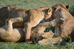 BK0_3288 (b kwankin) Tags: africa lion ndutu serengeti tanzania