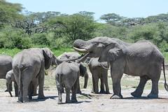 BK0_3020 (b kwankin) Tags: africa elephant ndutu serengeti tanzania