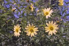Yellow flowers - film (JSB PHOTOGRAPHS) Tags: pentax auto 110 18mm 693 pentaxauto11018mm693 film filmphotography filmisnotdead