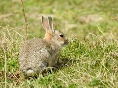 Rabbit (LouisaHocking) Tags: marazion cornwall wild wildlife nature southwest british england mammal animal rabbit