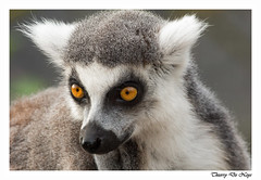Regard appuyé / Look supported (Thierry De Neys - Photographies) Tags: pairidaiza brugelette cambroncasteau regarddelémurien oreilles museau poils blancetfeu oeiljaune portrait regardappuyé belgique lemurlook ears snout hairs whiteandfire yelloweye gazesupported belgium ohren schnauze haare weisundfeuer gelbesauge porträt blickunterstützt belgien sguardolemure orecchie muso capelli biancoefuoco occhiogiallo ritratto sguardosostenuto belgio 狐猴的外观,耳朵,鼻子,头发,白色和火,黄色的眼睛,肖像,凝视支持,比利时 miradadelemur orejas hocico pelos blancoyfuego ojoamarillo retrato miradaapoyada bélgica lemuren oren snuit haren witenvuur geleogen portret gesteundeblik belgië thierrydeneys