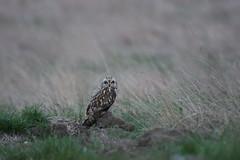 Short Eared Owl (jamiemcd17) Tags: owl shortearedowl seo wildlife wild nature bird birdofprey nikon