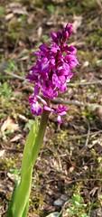 Early Purple Orchids near Launceston (kitmasterbloke) Tags: orchids earlypurple launceston cornwall nature plant outdoor uk