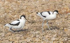 Avocet (badger2028) Tags: avocet nest pair egg