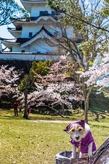 Ninja Dog (moaan) Tags: iga mie japan dog jackrussellterrier kinoko ninja costumed strolling castle igauenocastle japanesecastle springtime japanesespring cherrytree cherryblossom leica leicamp type240 noctilux 50mm f10 noctilux50mmf10 leicanoctilux50mmf10 utata 2019