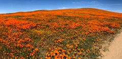 IMG_0342.jpg (The City Project) Tags: poppy landwaterconservationfund antelope preserve flowers superbloom valley lancaster ca