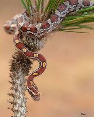 Florida's eastern corn snake photographed on our property. Corn snakes are known for their docile temperament and colorful patterns. Follow me @mpluzier or see more of my backyard photography www.maresapryorluzier.com #snakesofinstagram #reptiles #reptile (mpluzier) Tags: reptiles pineflatwoods backyardwildlife floridareptiles redratsnake nonvenomous snakes cornsnake instagram ifttt