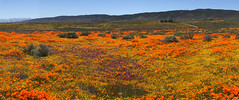 IMG_0320.jpg (The City Project) Tags: poppy landwaterconservationfund antelope preserve flowers superbloom valley lancaster ca