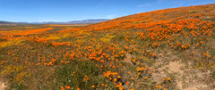 IMG_0333.jpg (The City Project) Tags: poppy landwaterconservationfund antelope preserve flowers superbloom valley lancaster ca