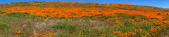 IMG_0304.jpg (The City Project) Tags: poppy landwaterconservationfund antelope preserve flowers superbloom valley lancaster ca