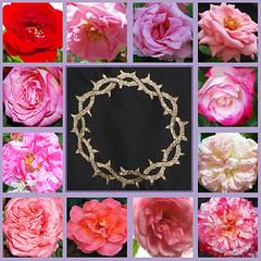 Vom Grabe, wo ein Herz zerfällt (amras_de) Tags: rose rosen ruža rosa ruže rozo roos arrosa ruusut rós rózsa rože rozes rozen roser róza trandafir vrtnica rossläktet gül dornenkrone coronadespines trnovákoruna crownofthorns dornokrono coronadeespinas saintecouronne ancoróindeilgneach trnovakruna coronazionedispine doornenkroon koronacierniowa coroadeespinhos törnekrona karsamstag dissabtesant bílásobota holysaturday sanktasabato sábadosanto lankalauantai samedisaint velikasubota nagyszombat sabatosanto sabbatumsanctum karsamschdeg stillezaterdag påskeaftan påskeaften wielkasobota sábadodealeluia sâmbatamare bielasobota velikasobota påskafton kutsalcumartesi