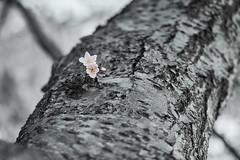 Cherry Blossom (seekjim20) Tags: fuji cherry blossom dc flower dof pink bw