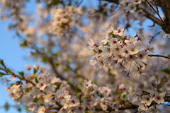 Cherry Blossoms (TigerPal) Tags: southkorea rok gimpo flower tree nature cherryblossoms dof blur bokeh spring pink