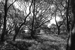 daydreams dancing in the wind (Super G) Tags: sony022 bw blackandwhite trees backlit forest pogonip santacruz