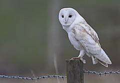 Ghost (davy ren2) Tags: owl barn pale nikon d500 wildlife photograthy nature post