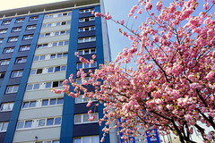 Pink blossom in Preston (Tony Worrall) Tags: preston lancs lancashire city welovethenorth nw northwest north update place location uk england visit area attraction open stream tour country item greatbritain britain english british gb capture buy stock sell sale outside outdoors caught photo shoot shot picture captured ilobsterit instragram photosofpreston architecture building nature cherryblossom tree tall pink color colours flats