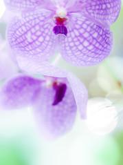 あみだくじ (Tomo M) Tags: flower orchidaceae soft nature pastel light bokeh ginghamcheck purple macro closeup greenhouse