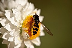 Hoverfly (Rodger1943) Tags: australianinsects flies hoverfly sonyrx10m4