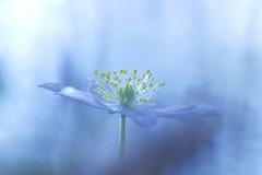 IMG_8866 - Bien exposé (anémone Sylvie) (mp mapa) Tags: fleurs foret printemps fleur blanche yvelines france nature plante vivace sauvage macro proxi