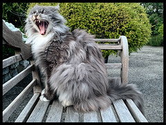 FUNNY  JOKE  ! (J.P.B) Tags: animal cat cute domestic facialexpression felidae garden mainecoon nature noperson pet portrait smalltomediumsizedcats teeth chat メインクーンキャット 缅因库恩猫
