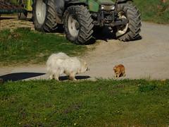 Oh, oh....... (elisabeth.mcghee) Tags: katze kater cat hund dog weiss white rot red getigert kampf fight animals tiere oberpfalz unterbibrach upperpalatinate