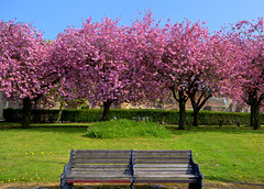 Cherry blossom Preston (Tony Worrall) Tags: spring tree pink nature blossom color colours natural outdoors cherryblossom bloom flowers grow plants lancslife preston lancs lancashire city welovethenorth nw northwest north update place location uk england visit area attraction open stream tour country item greatbritain britain english british gb capture buy stock sell sale outside caught photo shoot shot picture captured ilobsterit instragram photosofpreston seasonal