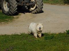 Otto is done! (elisabeth.mcghee) Tags: hund dog white weiss unterbibrach oberpfalz haustier tier animal upperpalatinate
