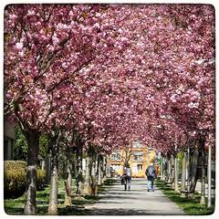 Spring in pink (jeilmer) Tags: allee frühling blüten bäume spring rosa prachtvoll schön schönebäume trees farbenpracht