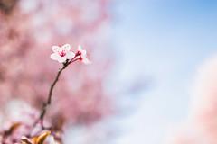 Breitenlee, Wien XXII, Austria (KarlOplustil) Tags: spring frühling vienna austria canon pink blue nature
