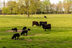 Black sheep and lambs (Keith now in Wiltshire) Tags: lamb ewe sheep black grazing grass field farm young animal wool tree parkland landscape wiltshire