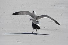 Laughing Gull (M. Coppola) Tags: willet tringasemipalmata fortdesotopark pinellas florida leucophaeusatricilla laughinggull breedingbehavior
