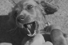Arrow (adam_moralee) Tags: arrow dog puppy collar blackwhite black white bw wb animal happy teeth ears nikon d7000 nikond7000 18200mm tamron lens joy beautiful portrait dogportrait