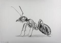 Tekening van een mier... (Henk Boekholt Macro Fotograaf) Tags: mier tekening drawing macro macrofotografie ant draw teken tekenen