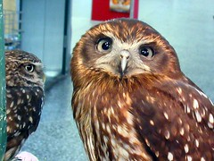 Jensen and Star (billnbenj) Tags: barrow cumbria owl tawnyowl raptor birdofprey littleowl